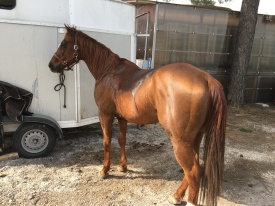Castrone Quarter Horse Tabasco Jac Jetn finaco sinistro