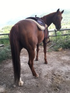 Castrone Quarter Horse Tabasco Jac Jetn posteriore