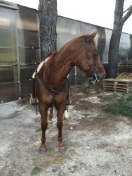 Castrone Quarter Horse Tabasco Jac Jetn profilo destro