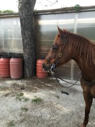 Castrone Quarter Horse Tabasco Jac Jetn profilo sinistro