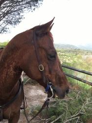 Castrone Quarter Horse Tabasco Jac Jetn profilo