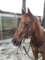 Castrone Quarter Horse Tabasco Jac Jetn testa