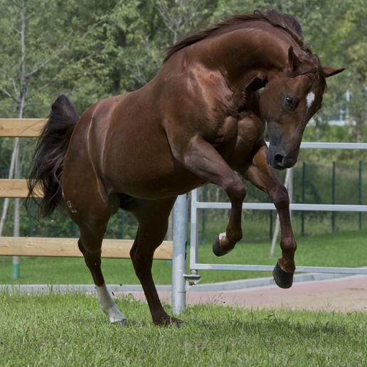 Cerchi un cavallo quarter horse scrivici ti aiutiamo a - Avere un cavallo ...