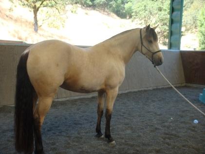 Puledra buckskin Quarter Horse.