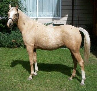 Puledra palomino Quarter Horse.
