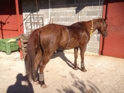 Tabasco-Jac-Jetn-Castrone-Quarter-Horse-schiena