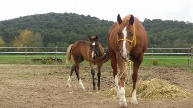 fattrice-quarter-horses
