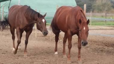 puledri-quarter-horses