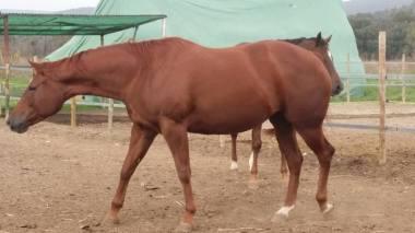 puledro-quarter-horses