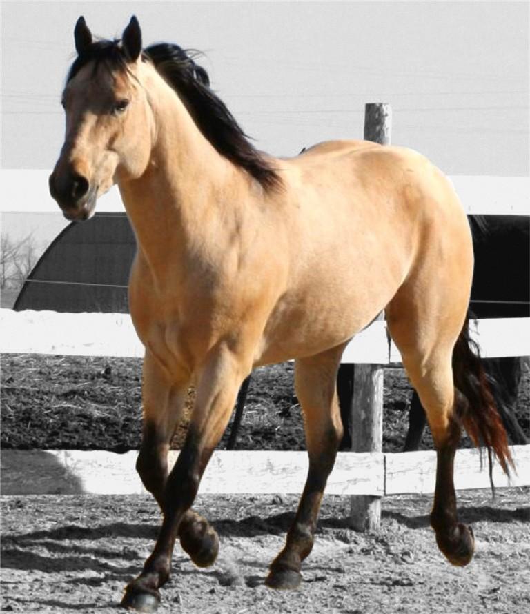 buckskin quarter horse.jpg