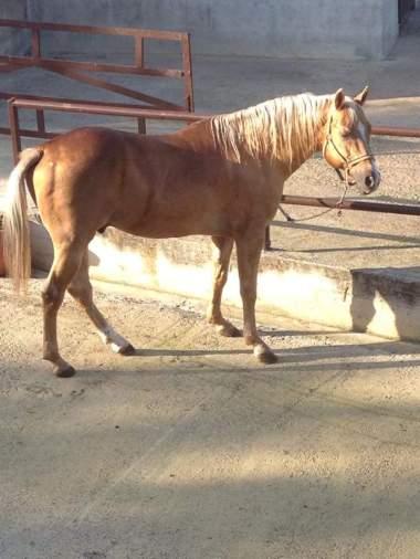 stallone-quarter-horse-yellow-c-surprise-lato