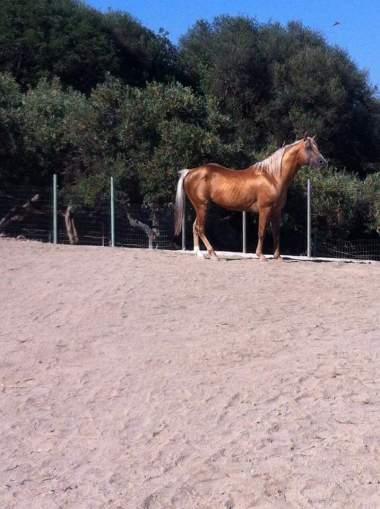 stallone-quarter-horse-yellow-c-surprise-palomino