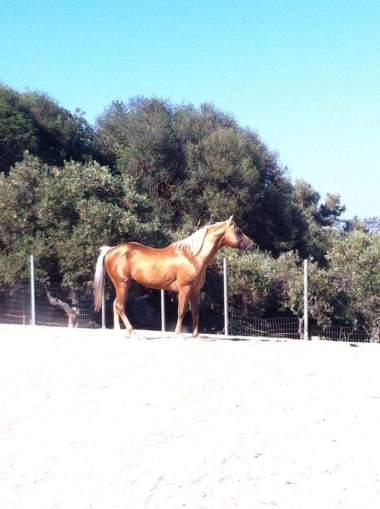 stallone-quarter-horse-yellow-c-surprise-profilo