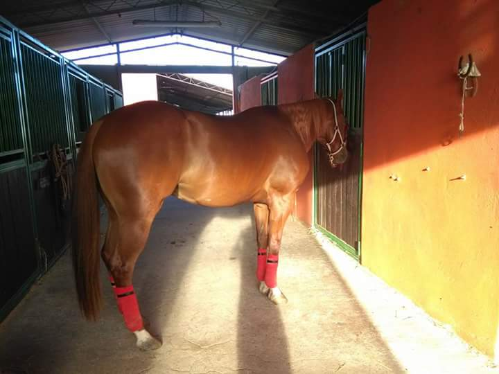 the-remedy-bullying-castrone-quarter-horse-linea-redskin