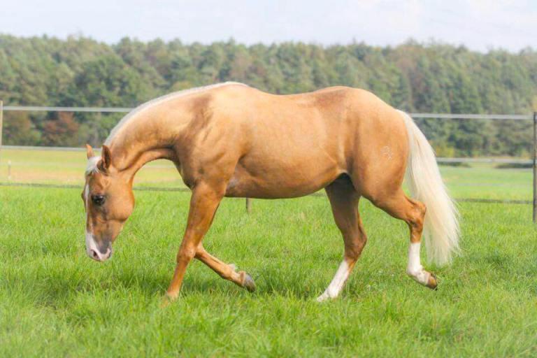 rooster-got-a-gun-stallone-palomino-quarter-horse-libero