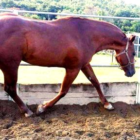stallone-quarter-horse-morfologia-memory-to-roller-copertina