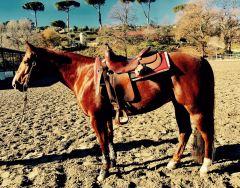 quarter_horse_female_rosalitaz_meconi_copertina