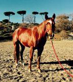 quarter_horse_female_rosalitaz_meconi_front