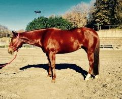 quarter_horse_female_rosalitaz_meconi_left