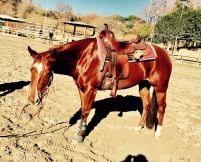 quarter_horse_female_rosalitaz_meconi_ready