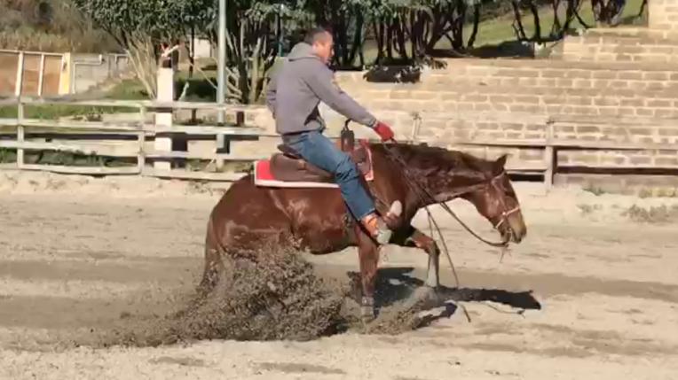 quarter_horse_female_rosalitaz_meconi_stop