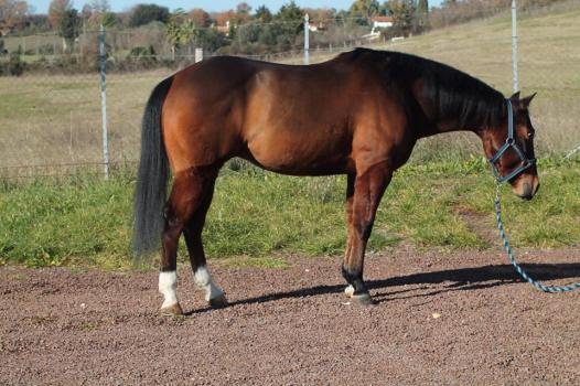 snapper_smokin_quarter_horse_in_vendita_baio