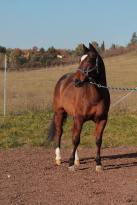 snapper_smokin_quarter_horse_in_vendita_front