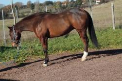 snapper_smokin_quarter_horse_in_vendita_left
