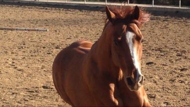 super-star-yatt-castrone-quarter-horse-reining