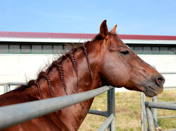 ANS_MOKIE_CAT_Stallone_Quarter_Horse_Santini_Cutting_Face