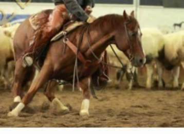 ANS_MOKIE_CAT_Stallone_Quarter_Horse_Santini_Front