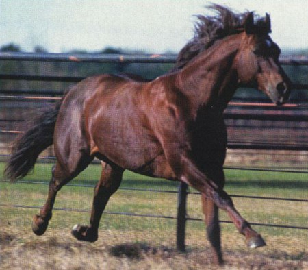 Bob_Acre_Doc_Stallone_Quarter_Horse