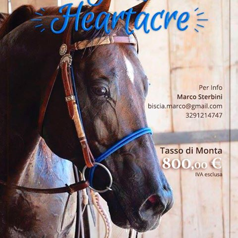 Great_Heartacre_Barone_Quarter_Horse_Stallion_Team_Penning_Sterbini_Info