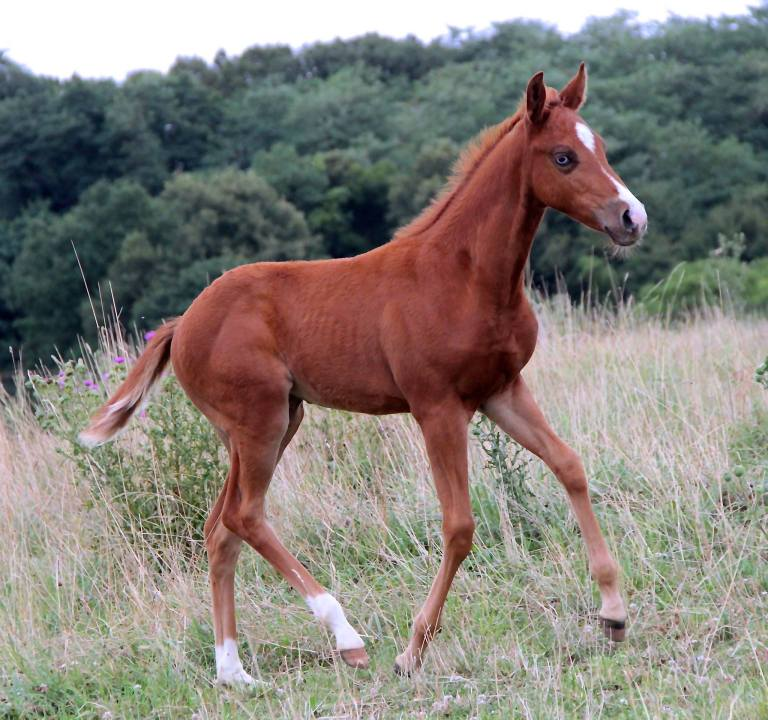 france-quarter-horse-reining filly-cb-whiz-royal-gunns-2017
