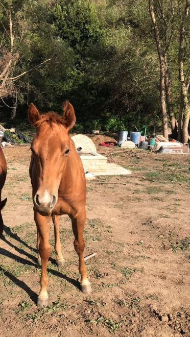 Puledro_Sauro_Quarter_Horse_TopSailCody_Progeny_Alessandro_Meconi_Front