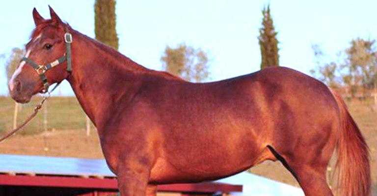 Stallone-Quarter-Horse-Sauro-FVR-WYATT-STARE-cutting-cover-