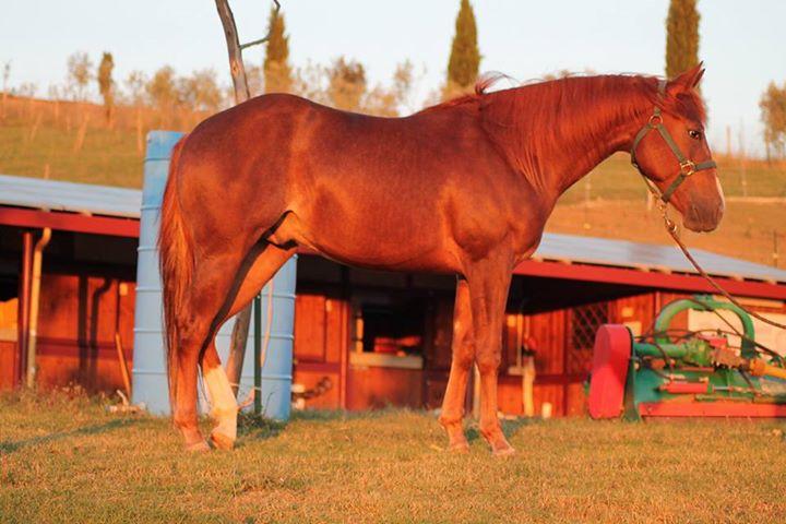 Stallone Quarter Horse Sauro FVR WYATT STARE cutting profilo destro