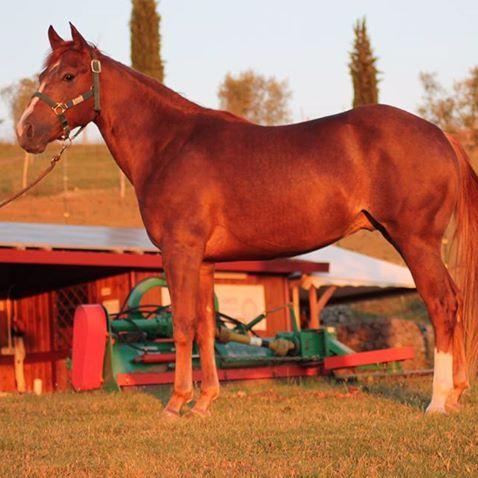 Stallone Quarter Horse Sauro FVR WYATT STARE cutting profilo sinistro