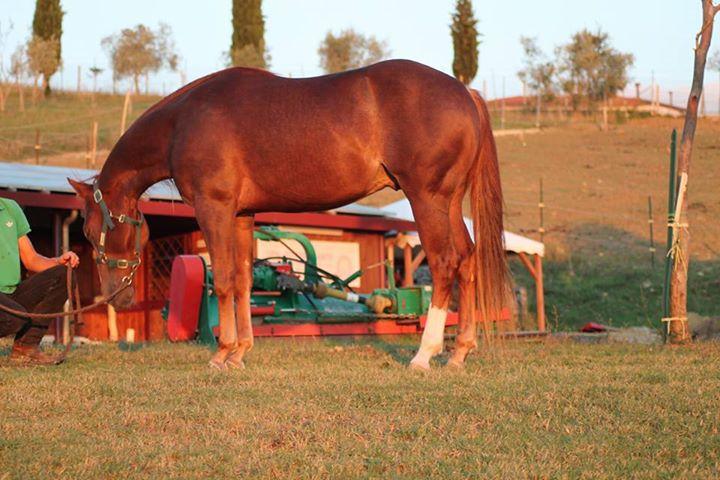Stallone Quarter Horse Sauro FVR WYATT STARE cutting