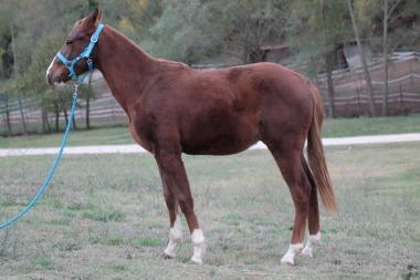 FUR-ACRE-IN-PEPTO-Quarter-Horse-Intero-In-Vendita-3