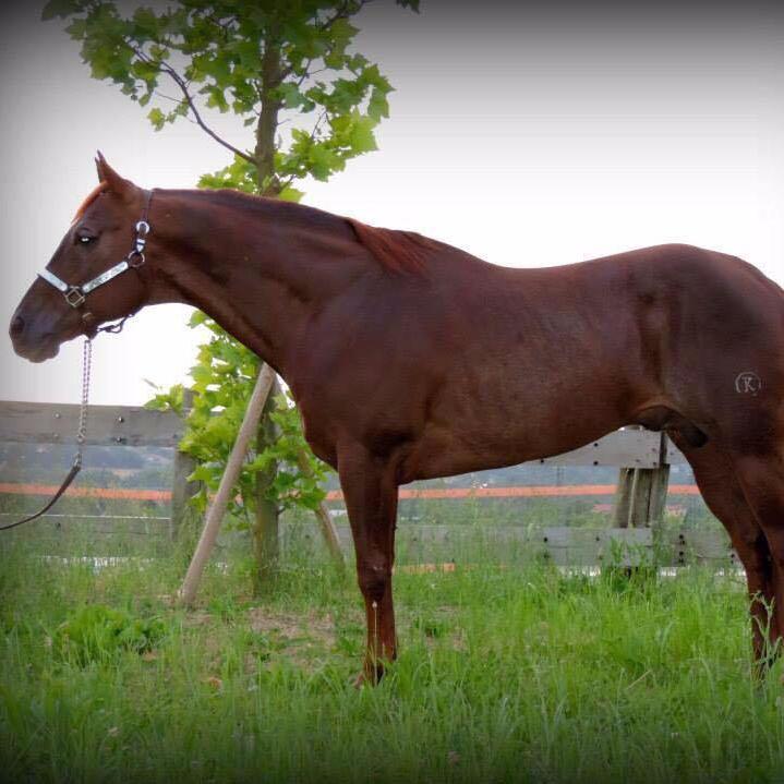 POWER-SNAP-Stallone-Quarter-Horse-Sauro-Reining