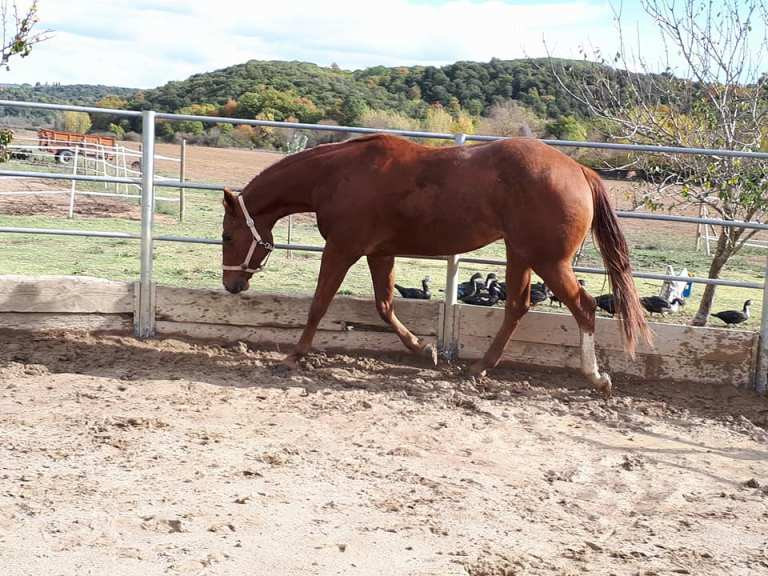 TOUCH-ME-COOL-Puledro-Quarter-Horse-Sauro