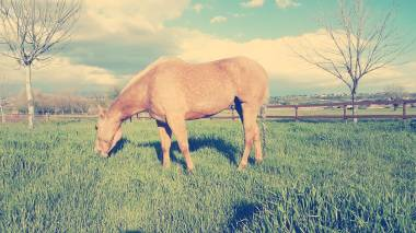 yellow-red-spirit-castrone-quarter-horse-palomino-2