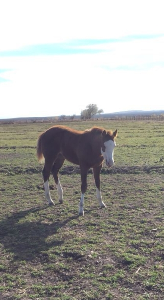 Mexico Race Quarter Horse RKM STREAKN REGARD Stallion at stud filly