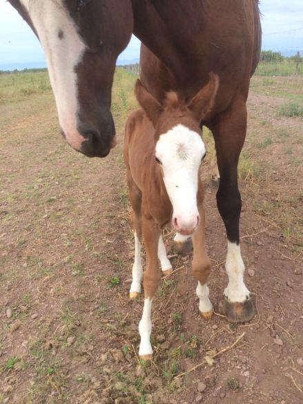 Mexico Race Quarter Horse RKM STREAKN REGARD Stallion at stud foal