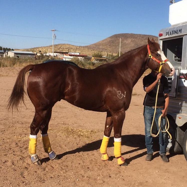 mexico-race-quarter-horse-rkm-streakn-regard-stallion-at-stud1.jpeg
