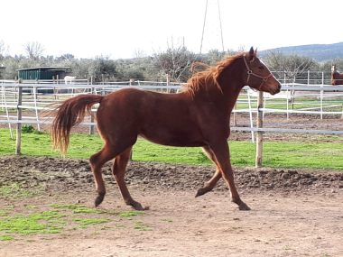 AMANITA-CONCLUSION-Puledra-Quarter-Horse-Saura-Copertina