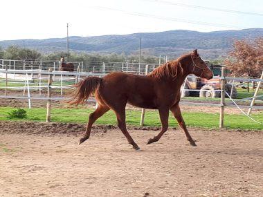 AMANITA-CONCLUSION-Puledra-Quarter-Horse-Saura-Right