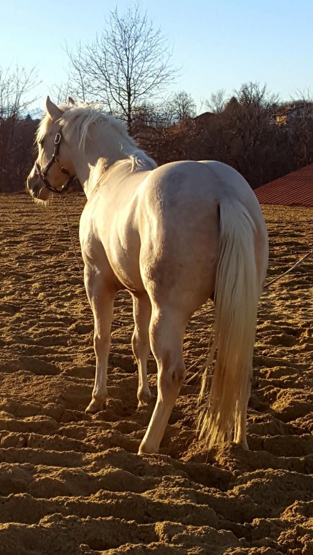 posteriori Puledro Quarter Horse Palomino • MR BLACK EYED PRESIDENT (2016) in vendita