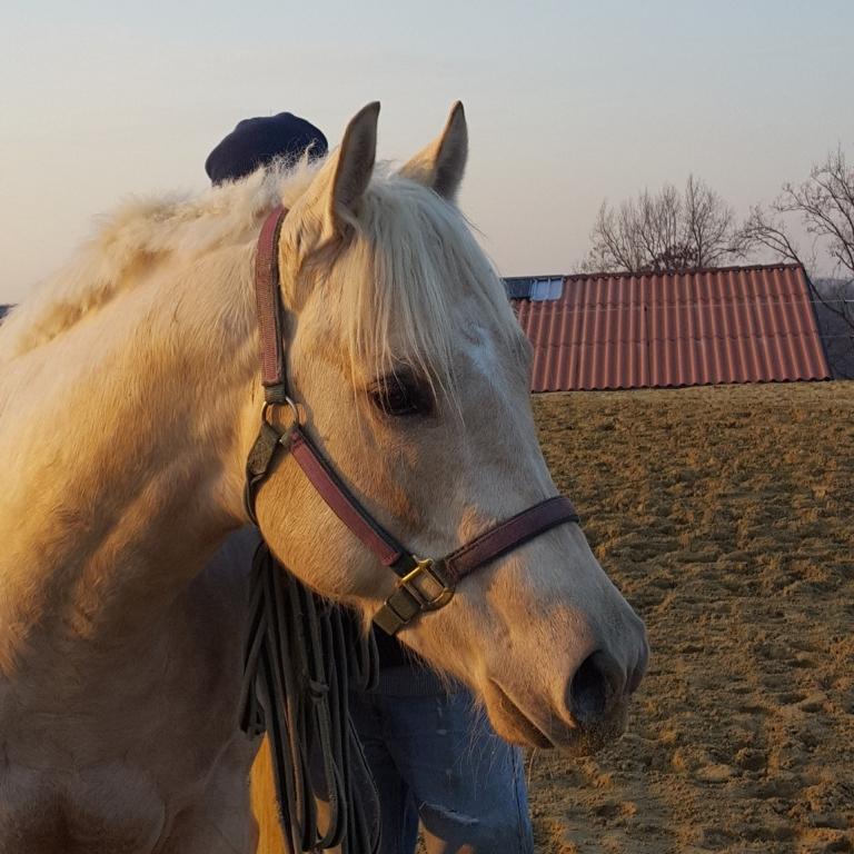 testa-puledro-quarter-horse-palomino-e280a2-mr-black-eyed-president-2016-in-vendita.jpg